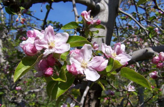 Apple Blossom Week