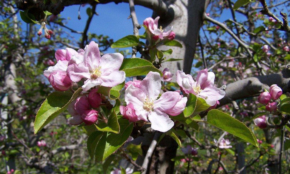 Settimana della fioritura delle mele