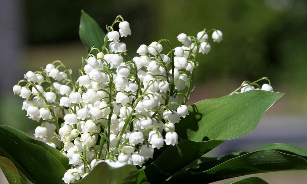 Lily of the Valley Week